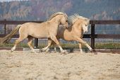foto of pony  - Two amazing palomino stallions playing together in autumn welsh mountain pony and welsh pony of cob type - JPG