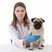 foto of pug  - happy young woman vet doctor with pug dog isolated on white background - JPG