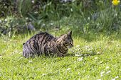 picture of cute tiger  - cute tiger cat relaxes at the green grass in the sun - JPG