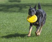 stock photo of frisbee  - One male German Shepherd Dog playfully runs toward camera with yellow frisbee in his mouth - JPG