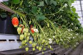 pic of hydroponics  - Closeup of blossoming and ripening strawberries hanging in a modern glasshouse specialized in hydroponic strawberry cultivation on substrate - JPG