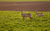 image of  bucks  - Roe buck and roe deer standing on field with sunshine as backlight - JPG