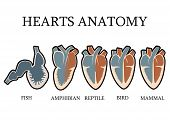 foto of vertebrate  - Comparison of cardiac anatomy of vertebrates. simple hearts 