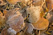 picture of fallen  - Fallen autumn yellow leaves covered with rime on green grass - JPG