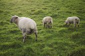 picture of urinate  - Three sheep in a meadow - JPG
