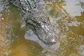picture of alligator  - A close - JPG