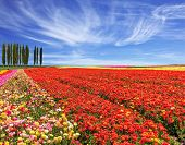 stock photo of buttercup  - Bright festive red blooming field of buttercups - JPG