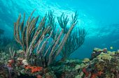 Sea Rods on a coral ledge
