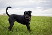 picture of coy  - Happy black dog in grassy field looking left - JPG