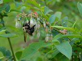 image of bumble bee  - Bumble bee pollinating blueberry blossoms on the fruit bush - JPG