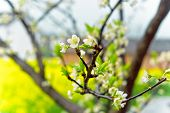 image of rape  - In Asia Spring in the fields of rape and with dew white plum close - JPG