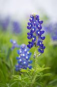 stock photo of bluebonnets  - Closeup of Texas Bluebonnet flower (Lupinus texensis) ** Note: Soft Focus at 100%, best at smaller sizes - JPG