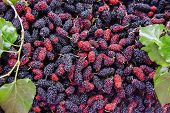 stock photo of mulberry  - Close up organic mulberry fruit harvested from the farm - JPG