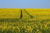 picture of rape-field  - Val d Oise a field of rape in spring - JPG