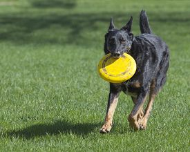 picture of frisbee  - One male German Shepherd Dog playfully runs toward camera with yellow frisbee in his mouth - JPG