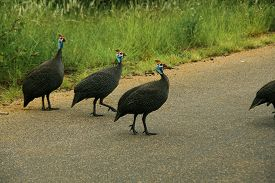 foto of guinea fowl  - Group of Guinea Fowl crossing a road - JPG