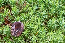 pic of beechnut  - One shell beechnuts lying on green moss - JPG