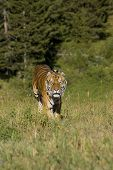 Siberian Tiger runs out of the woods