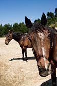 Two brown horses portrait