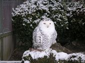 picture of snow owl  - Owl - JPG