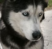 Dog With Multi Colored Eyes