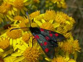 Five-spot Burnet Moth 01