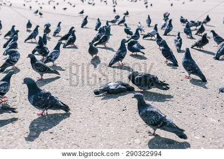 Pigeons Walk Around A Dead