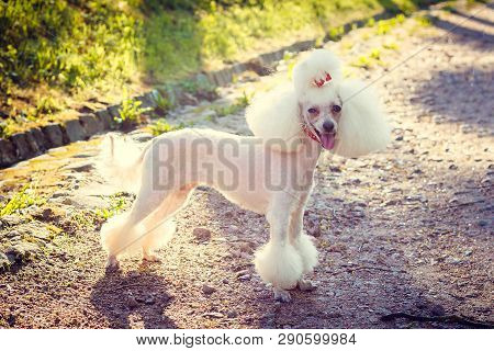 poster of Dog Poodle With A Haircut For A Walk. Dog Poodle. Dog With A Haircut
