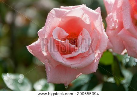 Bright Pink Rose Flower In