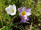 Multi-colored Flowering Crocuses On The Background Of Green Grass. Spring Flora For A Joyful Mood. L poster