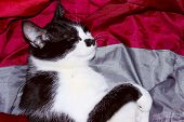Tuxedo Cat Over Red Background. Cat Sleeping In The Bed. Animals, Pets Concept. Cropped Shot Of A Bl poster