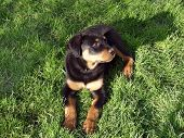A Cute Rottweiler Puppy on grass