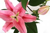 Pink lilies on white