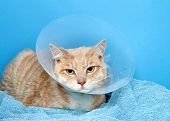 Orange And White Tabby Cat Wearing An Elizabethian Collar To Prevent Self Injury After Surgery. Also poster