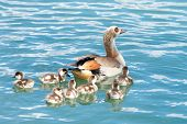 Egyptian Goose Swimming With Goslings. Egyptian Geese Were Considered Sacred By The Ancient Egyptian poster