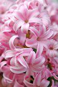 A pink hyacinth detail