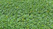 Many Flowering Tomato Seedlings poster