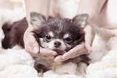 Funny Chihuahua Dog,happy Brown Chihuahua Dog With Hand,happy Dogs On The Carpet,closeup Portrait Of poster
