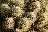 Pinkflower Hedgehog Cactus