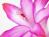 Close-up Of Zigocactus Truncatus Flower