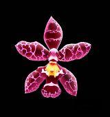 Wilsonara Orchid Flower