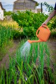Watering Of Beds From A Watering Can. Care Of Beds. Caring For Plants. Water From The Luica. Water S poster