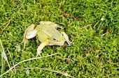 Green Frog Lithobates Clamitans Moss poster