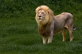 image of african lion  - Grasefull African Lion standing in green savanna grass - JPG