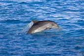 pic of grampus  - Dolphin in the sea - JPG