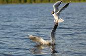 Black-headed gulls hunt