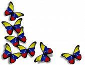 Venezuelan Flag Butterflies, Isolated On White Background