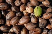 image of pecan tree  - Pile of ripe brown pecans with one unopened green pecan on top - JPG