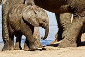 Young Elephant Calf