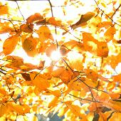 Yellow Leaves Illuminated By Straight Sunshine, Autumn Background, Instagram Design